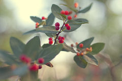 Branch with red berries. Branch of beautiful red wild berries, with beautiful green background Royalty Free Stock Image