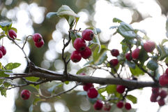 Branch with red berries in autumn Stock Image