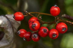 Branch with red berries. For the birds Royalty Free Stock Images