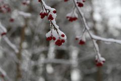 Branch with red berries in the cold.  stock images