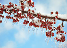 Branch with  red berries after ice storm Royalty Free Stock Images
