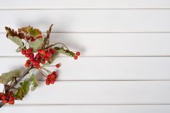 On a branch of red berries rowanberry. On a white wooden background Royalty Free Stock Image