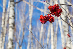 Branch of red berries on a tree, a mountain ash Stock Images