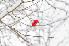 Branch with red berries Royalty Free Stock Images