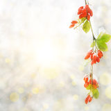 Branch red berry with leaf autumn Stock Photos