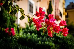Branch of red blossoming flowers stock images