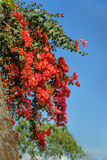 Branch of red bougainvillea flowers on stone wall Stock Images