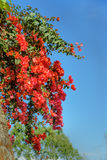 Branch of red bougainvillea flowers on stone wall Stock Photo