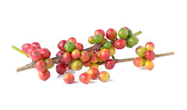 Branch of red coffee bean Royalty Free Stock Images