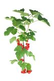 Branch of a red currant Royalty Free Stock Image