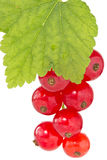Branch of red currant Royalty Free Stock Images