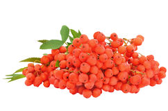 Branch of red currant Royalty Free Stock Photography
