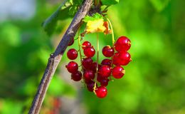 Red currant in the garden. Branch with red currant berries stock photo