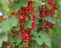 Branch of red currant with berries (Ribes rubrum L. ). Summer Royalty Free Stock Image