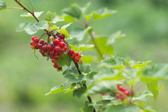 Branch of red currant Stock Images