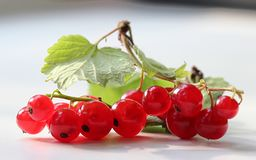 Branch of red currant with green leaves royalty free stock photography