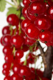 Branch of red currant isolated on the white background Stock Image