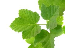 Branch with red currant leafs stock photo