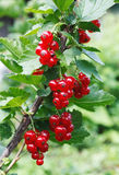 Branch of red currant Stock Photos