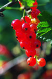 A branch of red currant Stock Photo