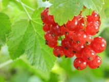 A branch of red currant Royalty Free Stock Photography