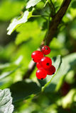 Branch of red currants. On a background of green bush Royalty Free Stock Photo