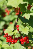 Branch of red currants on a background of green bush Royalty Free Stock Photography