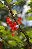 Branch of red currants on a blured natural background. With sun royalty free stock photo