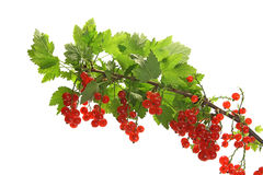 Branch of red currants isolated on white Stock Photo