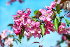Apple blossom red. Branch of red flowering Apple trees on the street Stock Images