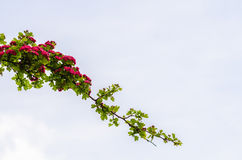 Branch with red flowers. Blossoming in the spring against the cloudy sky Royalty Free Stock Images