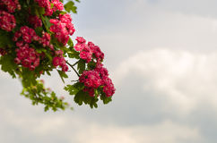 Branch with red flowers Royalty Free Stock Photos