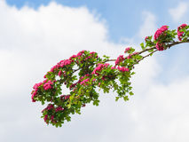 Branch with red flowers Stock Image