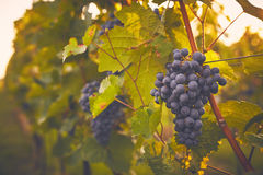 Branch of red grapes Royalty Free Stock Photography