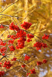Branch of red guelder-rose Royalty Free Stock Image