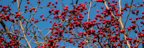 Branch with red hawthorn fruits. Banner for design royalty free stock photo