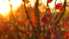 Branch of red hazel tree in the rays of the setting sun Stock Photos