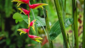 Branch of Red Heliconia flower in wet season rain. Lush green plants foliage are hitting by the rain drops stock video