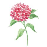 Branch of red hydrangea Stock Photography