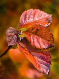 Branch with red leaves and dew in fall Royalty Free Stock Photo