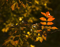 Branch with red leaves of sumach  in chiaroscuro Stock Photo
