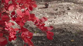 Branch with red leaves in sunlight. Close-up stock footage
