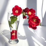 Branch of red mallow flowers, bouquet in a glass vase with water in a ray of sunlight and shadow on white background close up stock photos