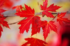 Branch with red maple leaves. Canada Day maple leaves background. Falling red leaves for Canada Day 1st July. Happy Canada Day real maple leaves in shape of stock images