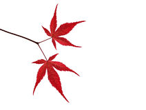 Branch with red maple leaves on white background Stock Images