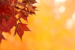 Branch of red maple leaves Stock Photo