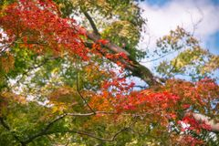 A branch with red marple leaves in Kiyomizu garden in Kyoto. Red maple leaves branch in autumn on a blurred background at Kiyomizu Garden in Kyoto, at the royalty free stock images