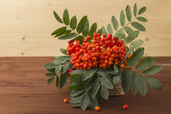 A branch of red mountain ash with a green leaf. Stock Image
