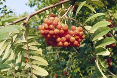Branch of a red mountain ash Royalty Free Stock Photos