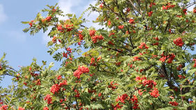 Branch of red mountain ash shaking on wind stock footage
